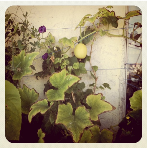 Squashes and vines on a wall