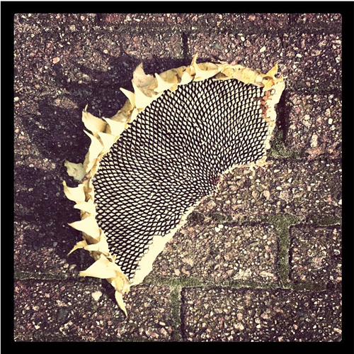 Half a sunflower on the ground