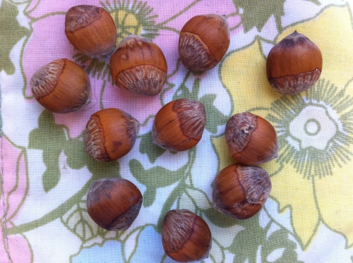 Turkish hazelnuts on vintage fabric coaster