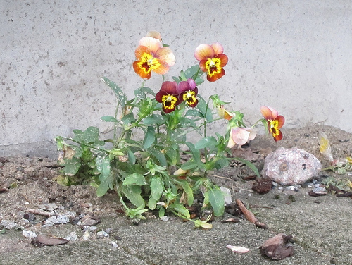 Angry-looking pansies growing on the sidewalk