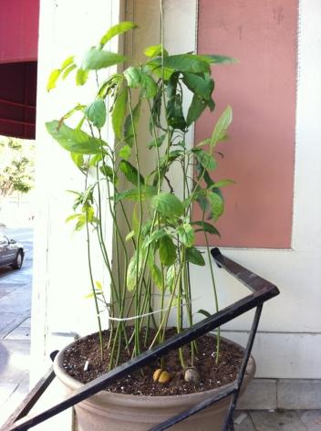Potted avocado plants on doorstep