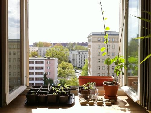 Many seedlings at open window