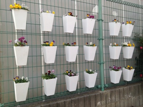 Many white pots of pansies attached to fence
