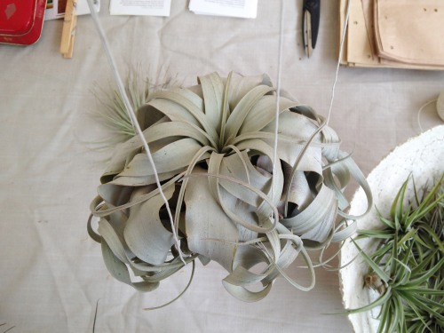 Ball of spiky pale green foliage hanging from strings