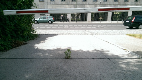 Small plant growing out of crack in a driveway under a boom barrier in Berlin-Mitte.